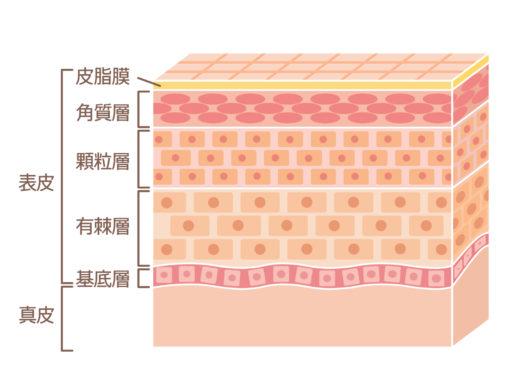 角質層と真皮層